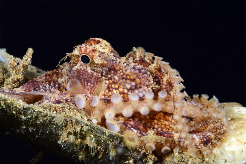 Cephalopod: Octopus<br /> Anilao, Philippines
