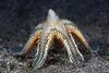 Echinodermata Star: Astropecten sp., spawning.<br /> The Pier, Anilao, Philippines.<br /> ID thanks to Dr. Gordon Hendler.