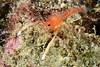 Shrimp<br /> Anilao, Philippines.
