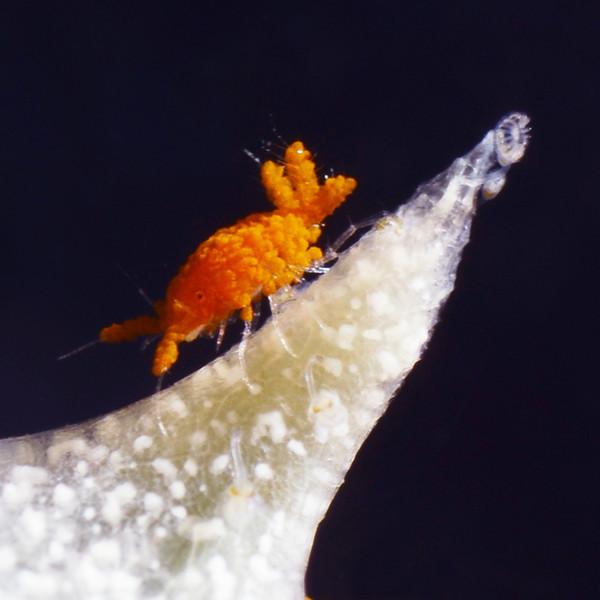 Isopod: Santia sp. <br /> Anilao, Philippines.