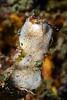 Isopods: Santia sp., on white sponge. <br /> Anilao, Philippines.