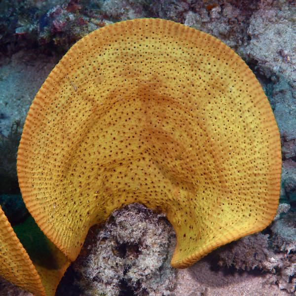 Sponge<br /> Anilao, Philippines