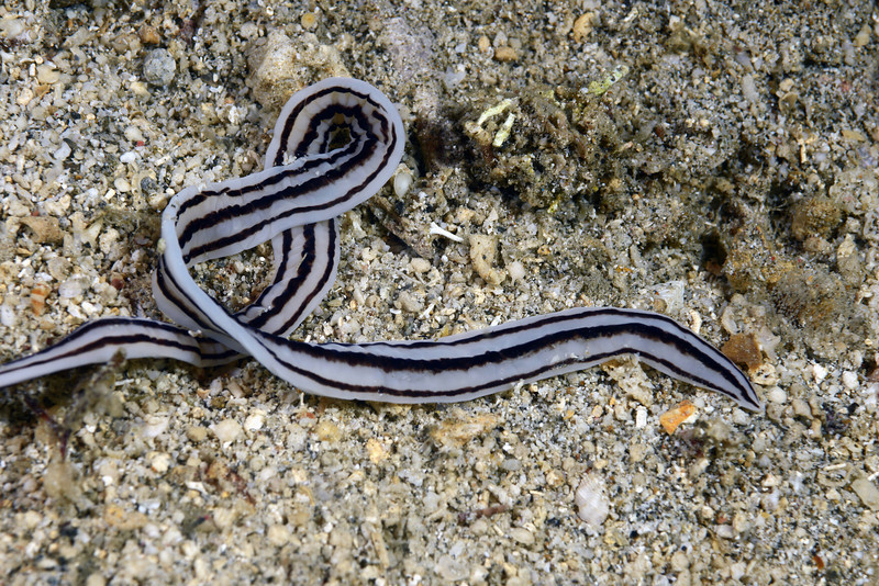 Nermertea: Baseodiscus quinquelineatus, ribbon worm.<br /> Anilao, Philippines.<br /> The Pier, Anilao, Philippines