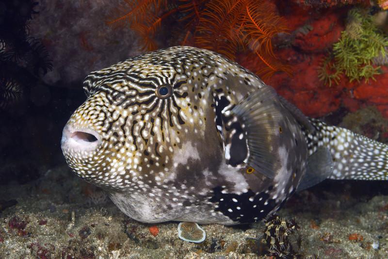 Fish:<br /> Anilao, Philippines.