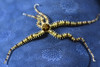 Echinodermata Star: Ophiactis sp., Brittle star on Linckia laevigata, Blue Star.<br /> Anilao, Philippines.<br /> ID thinks to Dr. Gordon Hendler