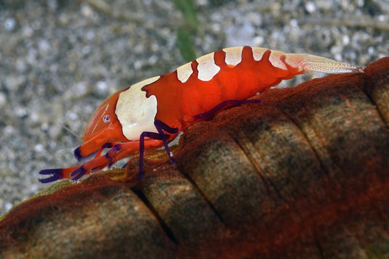 Shrimp on Sea Cucumber<br /> Anilao, Philippines.