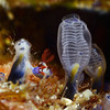 Tunicates: left tunicate has been consumed by a nudibranch, Nembrotha<br /> Anilao, Philippines.