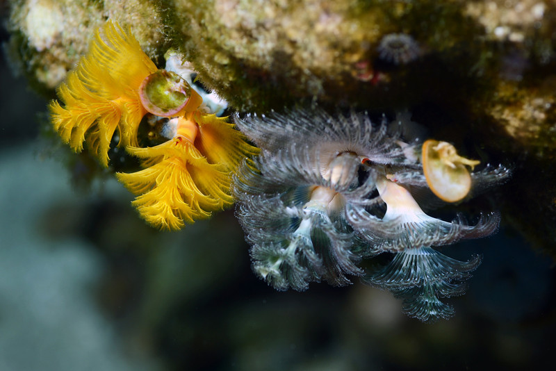 Spirobranchus giganteus, Christmas Tree Worms<br /> Anilao, Philippines.