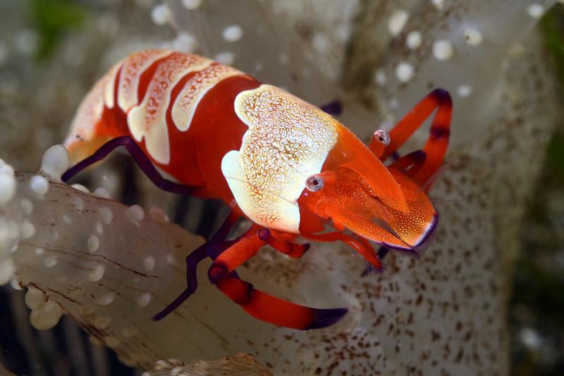 Shrimp: Periclimenes imperator.<br /> Anilao, Philippines.