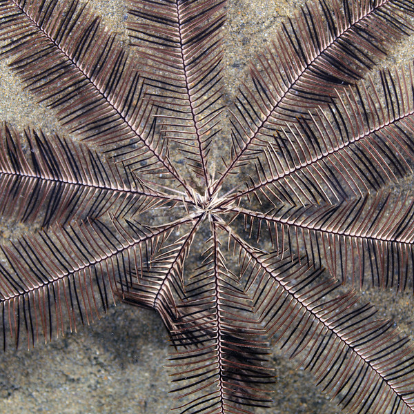 Echinodermata, Asteroidea: Crinoidea<br /> Anilao, Philippines.<br /> ID thanks to Dr. Gordon Hendler.
