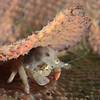 Crab: Dromiidae family, Sponge Crab.<br /> Anilao, Philippines.<br /> ID thanks to Dr. Mary Wicksten.