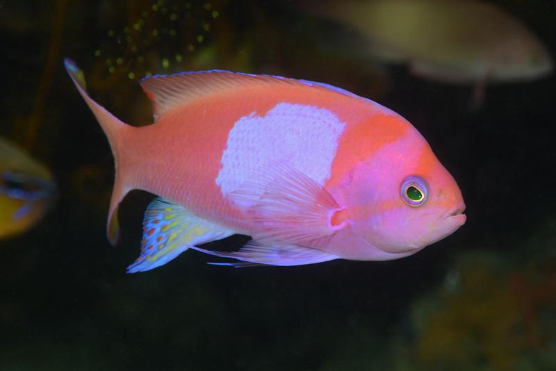 Fish: <br /> Anilao, Philippines