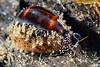 Gastropoda: Cypraea onyx (?)<br /> Anilao, Philippines.