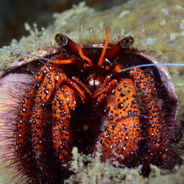 Crab: Dardanus megistos.<br /> Anilao, Philippines.<br /> ID thanks to Dr. Mary Wicksten.