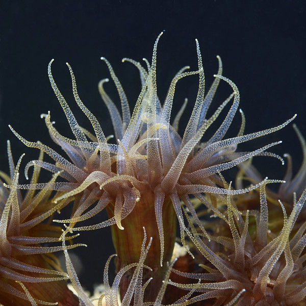 Coelenterata (Cnidaria): Tubastraea diaphana coral.<br /> Anilao, Philippines.