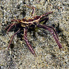 Crab: Harrovia albolineata, Family Eumedonidae.<br /> Anilao, Philippines.<br /> ID thanks to Dr. Mary Wicksten.