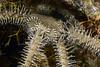 Echinodermata Star: Ophiarthrum pictum.<br /> The Pier, Anilao, Philippines.<br /> ID thanks to Dr. Gordon Hendler.