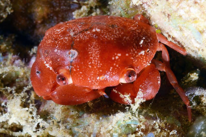 Crab:<br /> Anilao, Philippines