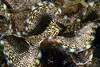 Gastropoda, Bivalve: Clam<br /> Anilao, Philippines.