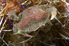 Crab: Lissocarcinus polybioides; a swimming crab that lives with echinoderms.<br /> Anilao, Philippines.<br /> ID thanks to Dr. Mary Wicksten.