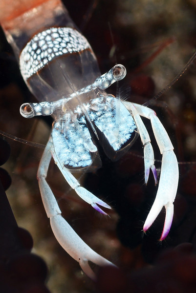 Shrimp:  Periclimenes magnificus, on anemone<br /> The Pier, Anilao, Philippines<br /> ID thanks to Dr. Mary Wicksten.