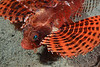 Fish: Lionfish<br /> Anilao, Philippines.