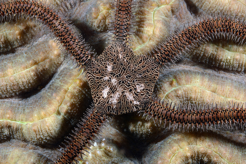 Echinodermata Star: Ophiarachna delicata<br /> Anilao, Philippines.<br /> ID thanks to Dr. Gordon Hendler.