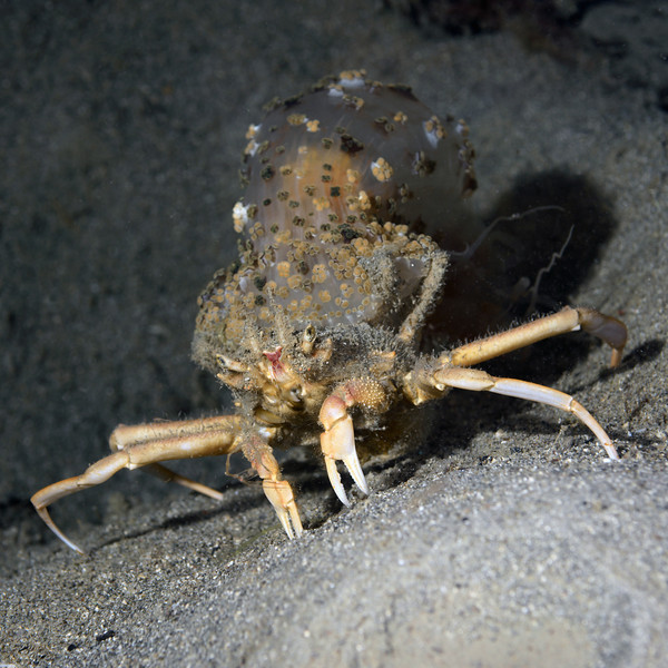 Crab: Dorippidae family, Porter Crab, with anemone clasped on back with hind legs.<br /> Anilao, Philippines<br /> ID thanks toMary Wicksten.