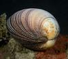 Gastropoda, Bivalve: <br /> Anilao, Philippines.