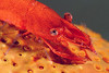 Shrimp: on star<br /> Anilao, Philippines.
