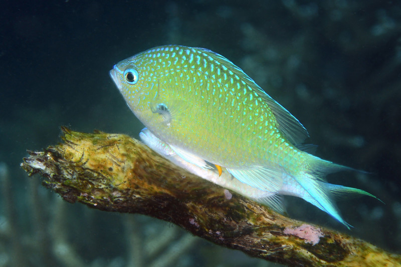 """Fish: Chromis viridis, Green Chromis mating. [The penile structure protruding from the male abdomen] """"is called a gonopodium.  It releases sperm at the same time as the female releases her ova (but it is not inserted in the female). However the two fish bring their anal regions close together at spawning. I would guess that the gonopodium in one form or another is found in all fishes."""" Comment by retired professor of ichthyology and Curator of Fishes of the Bishop Museum, Honolulu, Hawaii, John """"Jack"""" Randall. Thanks also to Dr. Milton Love.<br /> Anilao, Philippines."""
