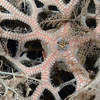 Star: Basket Star, ventral view, with shrimp,  Periclimenes lanipes.<br /> Anilao, Philippines