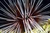 Echinoidea, Urchin: Echinothrix calamaris<br /> The Pier, Anilao, Philippines