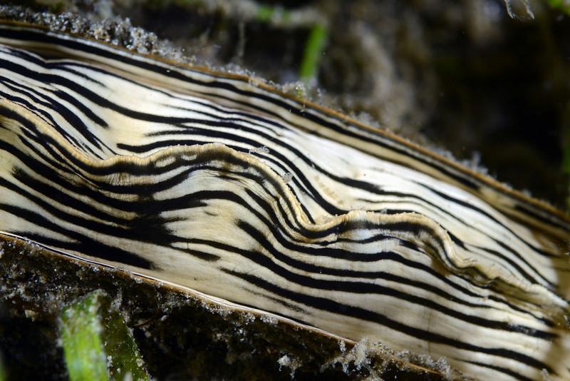 Gastropoda, Bivalve: Atrina pectinata; Pen shell (?).<br /> Anilao, Philippines.