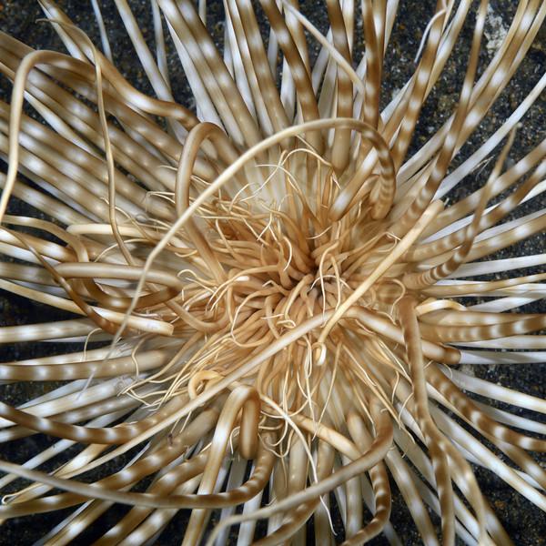 Coelenterata (Cnidaria), Ceriantharia: Cerianthid, Tube Anemone.<br /> Anilao, Philippines.