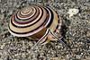 Gastropoda: Architectonica perspectiva; Sundial snail.<br /> Anilao, Philippines.
