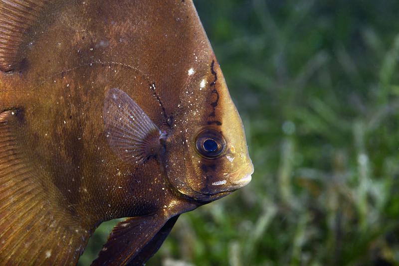 Fish:<br /> The Pier, Anilao, Philippines