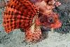 Fish: Lionfish<br /> Anilao, Philippines.