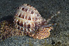 Gastropoda: Harpa articularis, Harp Snail.<br /> Anilao, Philippines.