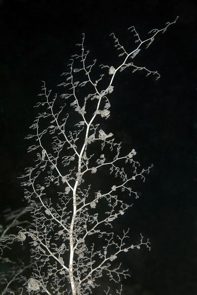 Echinodermata, Asteroidea: Astroboa nuda; Basket Star arm.<br /> Anilao, Philippines.