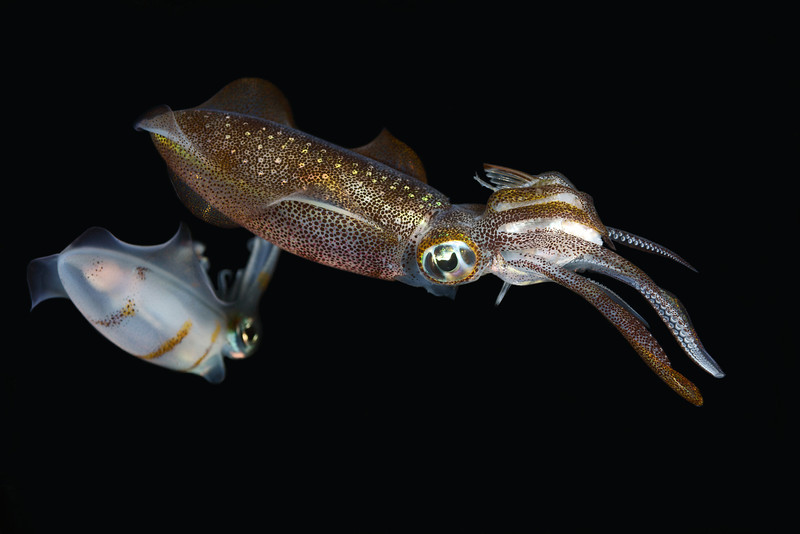 Cephalopod: Sepioteuthis lessonisana, Bigfin Reef Squid, with captured food. Night dive.<br /> Anilao, Philippines