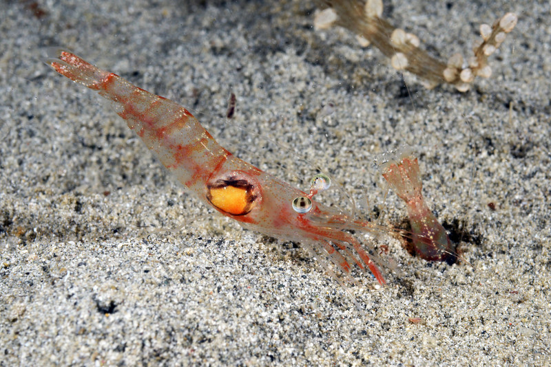 Shrimp: Penaeidae family, likely. The ugly spot may be an infection from a parasitic isopod.<br /> Anilao, Philippines.<br /> ID thanks to Dr. Mary Wicksten.