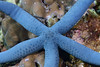 Echinodermata Star: Linckia laevigata, Blue Star<br /> Anilao, Philippines