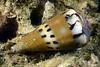 Gastropoda: Cone Snail (?)<br /> Anilao, Philippines.