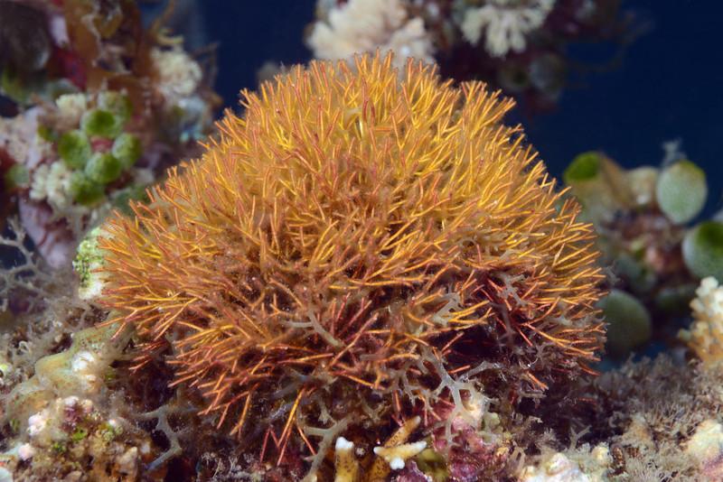 Coral<br /> Anilao, Philippines.