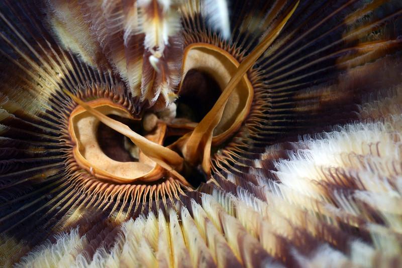 Sabellastarte worm<br /> Anilao, Philippines