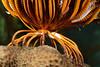 Echinodermata, Asteroidea: Crinoid foot<br /> Anilao, Philippines