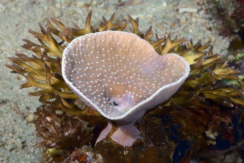 Coral:<br /> Anilao, Philippines