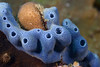 Blue sponge<br /> Anilao, Philippines
