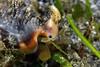 Gastropoda: Strombus bulla, conch.<br /> Anilao, Philippines.
